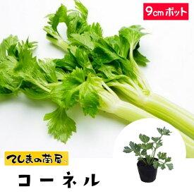 【てしまの苗】 セロリ苗 コーネル 9cmポット 葉菜苗 培土 種 【人気】