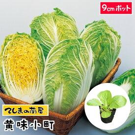 【てしまの苗】 ミニハクサイ苗 黄味小町 9cmポット 白菜 葉菜苗 培土 種 【人気】