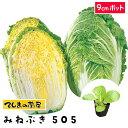 【てしまの苗】 ハクサイ苗 みねぶき505 9cmポット 白菜 葉菜苗 培土 種 【人気】