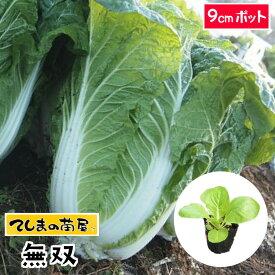 【てしまの苗】 ハクサイ苗 無双 9cmポット 白菜 葉菜苗 培土 種 【人気】