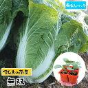 【てしまの苗】 ハクサイ苗 無双 4株入りパック 白菜 葉菜苗 培土 種 【人気】
