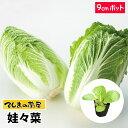 【てしまの苗】 ミニハクサイ苗 娃々菜 9cmポット 白菜 葉菜苗 培土 種 【人気】