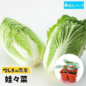 【てしまの苗】 ミニハクサイ苗 娃々菜 4株入りパック 白菜 葉菜苗 培土 種 【人気】