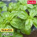 【てしまの苗】 コンパニオンプランツ バジル 実生苗 9cmポット 野菜苗 培土 種