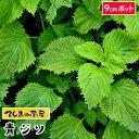 【てしまの苗】 青ジソ 実生苗 9cmポット 野菜苗 培土 種