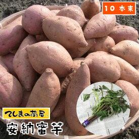 【てしまの苗】 さつまいも苗(イモヅル) 安納蜜芋1束10本入り サツマイモ
