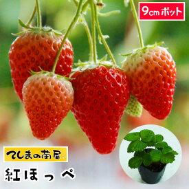 【てしまの苗】 紅ほっぺ 9cmポット 【人気】