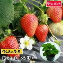 【てしまの苗】 イチゴ苗 おいCベリー 7.5-9cmcmポット 【人気】