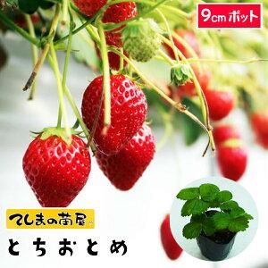 【てしまの苗】 イチゴ苗 とちおとめ 9cmポット 【人気】