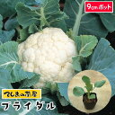 【てしまの苗】 カリフラワー苗 ブライダル 9cmポット 葉菜苗 培土 種 【人気】