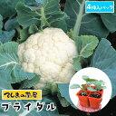 【てしまの苗】 カリフラワー苗 ブライダル 4株入りパック 葉菜苗 培土 種 【人気】