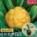 【てしまの苗】 カリフラワー苗 オレンジ美星 9cmポット 葉菜苗 培土 種 【人気】