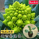 【てしまの苗】 カリフラワー苗 ロマネスコ 9cmポット 葉菜苗 培土 種 【人気】