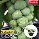 【てしまの苗】 芽キャベツ苗 早生子持 9cmポット 葉菜苗 培土 種 【人気】