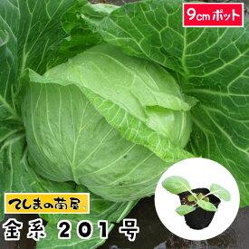 【てしまの苗】 キャベツ苗 金系201号 9cmポット 葉菜苗 培土 種 【人気】