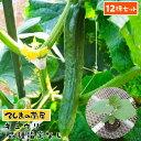 【てしまの苗】 【12株セット】 キュウリ苗 断根接木苗 9cmポット 品種は選べません