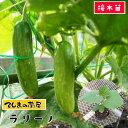 【てしまの苗】 キュウリ苗 ラリーノ 断根接木苗 9cmポット【人気】 野菜苗 培土 種