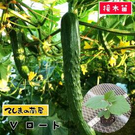 【てしまの苗】 キュウリ苗 Vロード 断根接木苗 9cmポット【人気】
