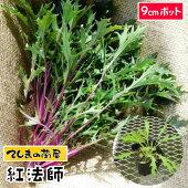 【生産農場直送】水菜苗紅法師実生苗9cmポット