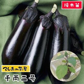 【てしまの苗】 ナス苗 千両二号 断根接木苗 9cmポット 野菜苗 培土 種