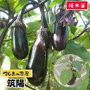 【てしまの苗】 ナス苗 筑陽 断根接木苗 9cmポット 野菜苗 培土 種