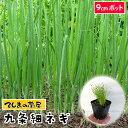 【てしまの苗】 ネギ苗 九条細ネギ 9cmポット 葉菜苗 培土 種 【人気】