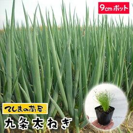 【てしまの苗】 ネギ苗 九条太ねぎ 9cmポット 葉菜苗 培土 種 【人気】