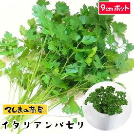 【てしまの苗】 パセリ苗 イタリアンパセリ 9cmポット 葉菜苗 培土 種 【人気】