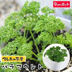 【てしまの苗】 パセリ苗 パラマウント 9cmポット 葉菜苗 培土 種 【人気】