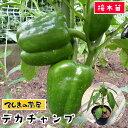 【てしまの苗】 ピーマン苗 デカチャンプ 実生苗 9cmポット 【人気】