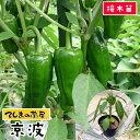 【てしまの苗】 ピーマン苗 京波 断根接木苗 9cmポット 【人気】