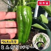 【生産農場直送】ピーマンとんがりパワー断根接木苗9cmポット【人気】