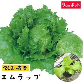 【てしまの苗】 玉レタス苗 エムラップ231 9cmポット 葉菜苗 培土 種 【人気】