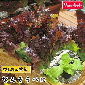 【てしまの苗】 リーフレタス苗 なんそうべに 9cmポット 葉菜苗 培土 種 【人気】