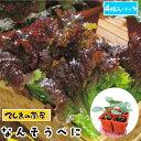 【てしまの苗】 リーフレタス苗 なんそうべに 4株入りパック 葉菜苗 培土 種 【人気】