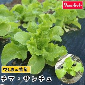 【てしまの苗】 レタス苗 かきちしゃ チマサンチュ 9cmポット 葉菜苗 培土 種 【人気】