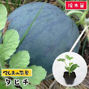 【てしまの苗】 スイカ苗 タヒチ 断根接木苗 9cmポット 【人気】