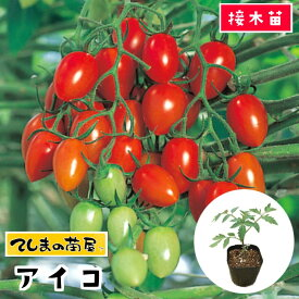 【てしまの苗】 ミニトマト苗 アイコ 断根接木苗 9cmポット 野菜苗 培土 種