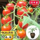【てしまの苗】 トマト苗 フルティカ 断根接木苗 9cmポット 野菜苗 培土 種