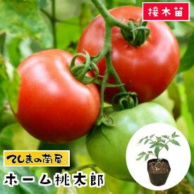 【てしまの苗】 大玉トマト苗 ホーム桃太郎 断根接木苗 9cmポット 野菜苗 培土 種