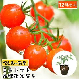 【てしまの苗】 【12株セット】 ミニトマト苗 断根接木苗 9cmポット 品種は選べません