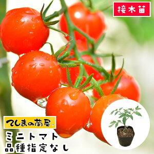 【てしまの苗】 ミニトマト苗 断根接木苗 9cmポット 品種は選べません