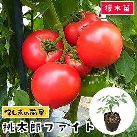 【てしまの苗】 大玉トマト苗 桃太郎ファイト 断根接木苗 9cmポット 野菜苗 培土 種