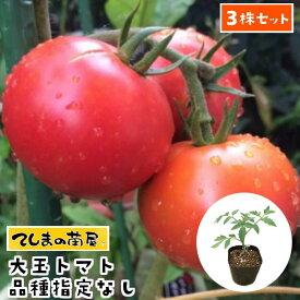 【てしまの苗】 【3株セット】 大玉トマト苗 断根接木苗 9cmポット 品種は選べません