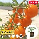 【てしまの苗】 ミニトマト苗 オレンジ千果 断根接木苗 9cmポット 野菜苗 培土 種