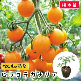 【てしまの苗】 ミニトマト苗 ピッコラカナリア 断根接木苗 9cmポット 野菜苗 培土 種