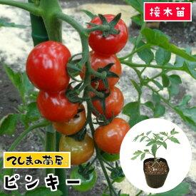 【てしまの苗】 ミニトマト苗 ピンキー 断根接木苗 9cmポット 野菜苗 培土 種