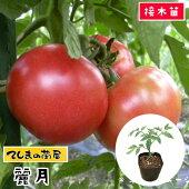 【生産農場直送】トウガラシ苗