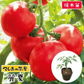 【てしまの苗】 大玉トマト苗 麗夏 断根接木苗 9cmポット 野菜苗 培土 種