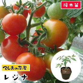 【てしまの苗】 ミニトマト苗 レジナ 断根接木苗 9cmポット【人気】